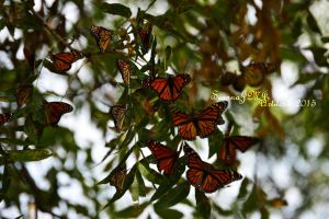 Group of Monarchs by siannajmj