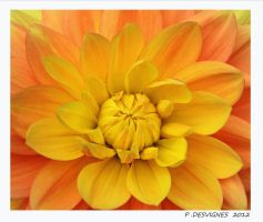 yellow dahlia by bracketting94