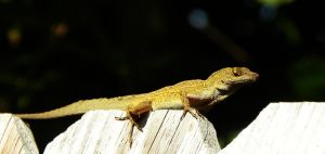 Anole by flowerhippie22