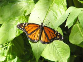 Monarch Butterfly 1 by NemoNameless