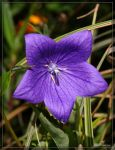 Chinese Bellflower 20D0038639 by Cristian-M