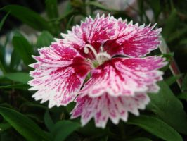 pink and white flower by lilrockergrl56