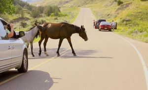 Wild horse crossing by eyenoticed