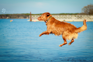 Flying toller by Rozowynos