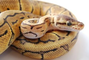 Lemon Blast Ball Python 2 by FearBeforeValor
