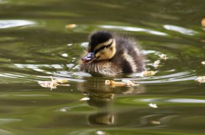 Duckling II by tjuh