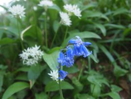Yet another blue bell.. by Fraped