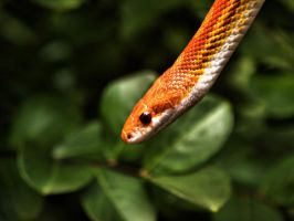 Corn Snake by alimuse
