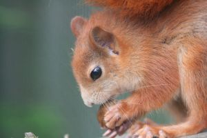 Red Squirrel 4532296 by StockProject1