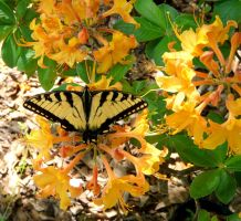Eastern Tiger Swallowtail on Native Azalea by duggiehoo