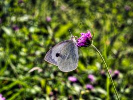 Little butterfly in HDR by MattHalic