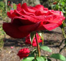 Red Rose at morning by WisteriasWeb