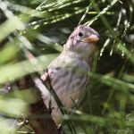 Rock sparrow by Jorapache