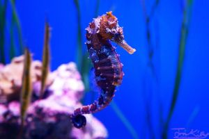 Spotted Seahorse by JKase911