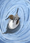 Northern Pintail by SlateGray