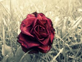 Dead Rose by Bouwland