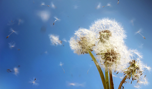 Flying dandelion seeds. by Lyien