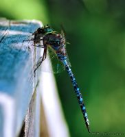 Dragonfly by imonline