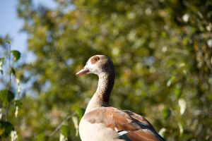 Egyptian goose by Bloodstained-Snow