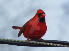 I Am Cardinal, Hear Me Roar by LovingLivingLife
