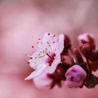 14/52 - Cherry Blossoms by IndigoSummerr