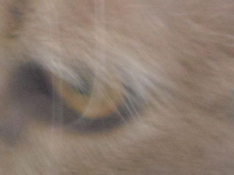 Lion Eye by rootrazz