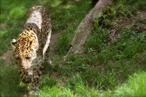 Amur Leopard by Misty-Dawn