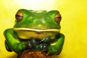 white lipped tree frog by laharjinggamurka