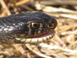 Western whip snake being aggresive by Faunamelitensis