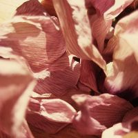 dried petals i by divinedecay
