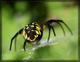 BlackYellow Argiope 40D0023080 by Cristian-M