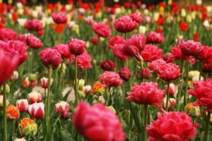 colorful tulips by Nexu4