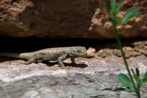 Lizard by AmblingPhotographer