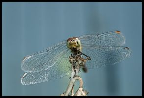 dragonfly by katerina-m