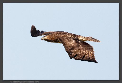 Juvenile Red Tailed Hawk by kootenayphotos