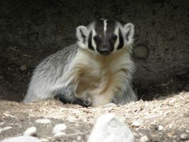 Badger by Canislupuscorax
