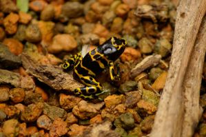 Poison Frog III by OverStocked