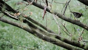 Song Thrush 1 by case15