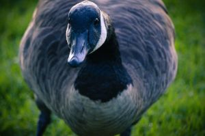 Canada Goose by Prophesies