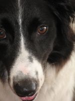 Border Collie by NPuccini