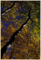 Green and Gold Aspens no. 4 by shagie
