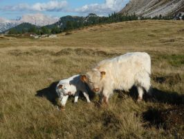 Lovely hairy cows by lailalta