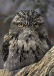 Full Body Frogmouth by robbobert