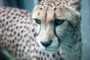 The Cheetah by Des-Henkers-Braut