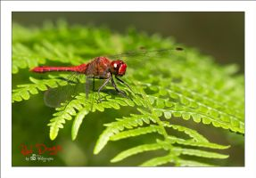 Red Dragon by sG-Photographie