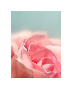 Roses are Pink... by onixa