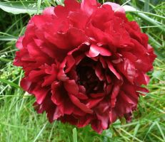 Red Peony in Spring by SacredJourneyDesigns