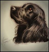 Cocker Spaniel by gilly15