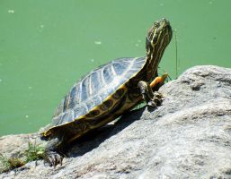 Turtle in Central Park - 1 by wildplaces