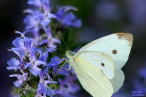 Butterfly on Rosemary by jochniew